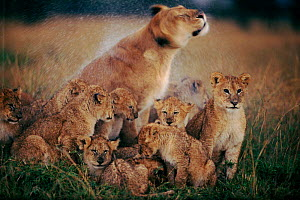 Lioness shaking off rain, surrounded by cubs, Masai Mara, Kenya, East Africa - Anup Shah