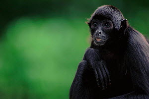 Spider monkey portrait  -  Anup Shah