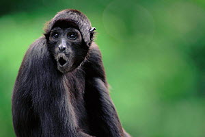 Spider monkey calling  -  Anup Shah