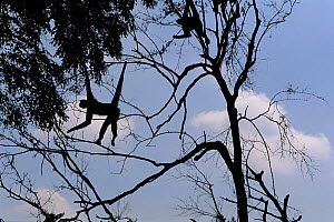 Spider monkey in tree. Note prehensile tail  -  Anup Shah