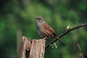Dunnock (Prunella modularis) singing. England, UK, Europe  -  Mike Wilkes