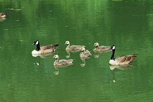 Canada geese family on water {Branta canadensis} Sussex UK  -  George McCarthy