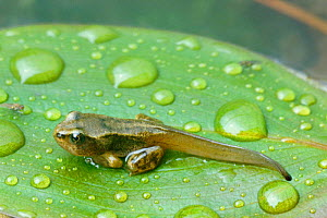 Common frog froglet {Rana temporaria} with tail, Scotland UK  -  Duncan Mcewan