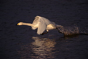 Whooper swan taking off from water, UK winter. Sequence 2/3  -  John Cancalosi