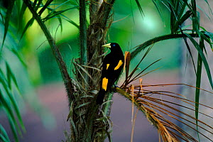 Yellow rumped cacique male {Cacicus cela} Peru Not available for ringtone/wallpaper use.  -  DAVID TIPLING
