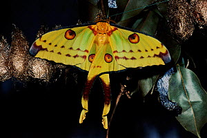 Madagascar moon moth female just emerged from cocoon  -  Nick Garbutt