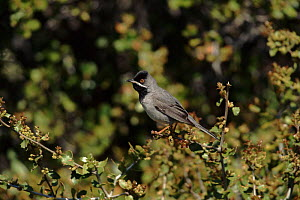 Ruppell's warbler, Island of Lesbos, Greece. - George McCarthy