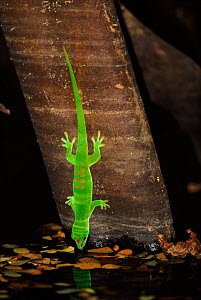 Day gecko drinking, Ankarana NP, Madagascar  -  Pete Oxford