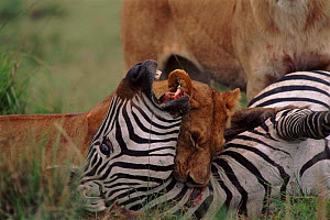 Lioness suffocating zebra, Masai Mara NR Kenya  -  Peter Blackwell