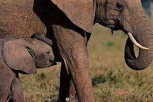 African elephant baby with adult, Masai Mara NR, Kenya - Peter Blackwell