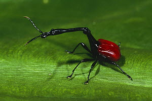 Male Giraffe necked weevil (Trachelophorus giraffa) Perinet Special Reserve, Madagascar  -  Pete Oxford