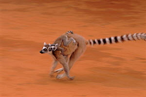 Ring-tailed lemur carrying young, Berenty Reserve, Madagascar - Pete Oxford