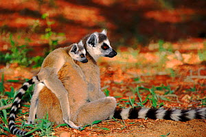 Ring-tailed lemur with young, Berenty Reserve, Madagascar - Pete Oxford