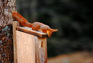 Red squirrel investigates birdbox. Sequence 3/5. Sweden  -  Bengt Lundberg