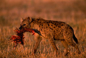 Spotted hyaena with prey {Crocuta crocuta} Masai Mara NR Kenya  -  Peter Blackwell