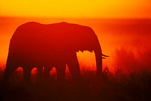 African elephant silhouetted at sunrise in the Masai Mara NR, Kenya - Peter Blackwell