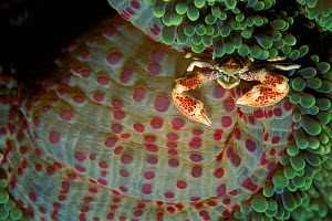 Anemone crab on anemone. Pacific, Phillipines - Jurgen Freund