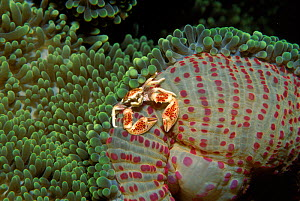 Anemone crab on anemone. Philippines, Pacific Ocean - Jurgen Freund