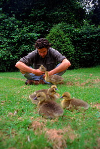 Nigel Williams acting as foster parent to imprinted Greylag chicks, for filming of BBC tv series 'Supernatural' - John Downer