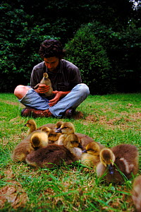 Nigel Williams acting as foster parent to imprinted Greylag goose chicks for filming of BBC tv series 'Supernatural' - John Downer