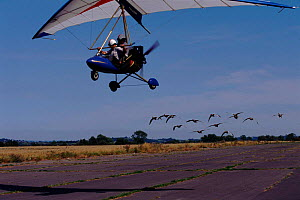 Imprinted Greylag geese flying behind microlite for filming of BBC tv series 'Supernatural', 1998  -  John Downer