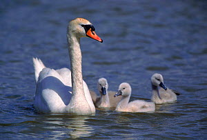 Mute swan with cygnets (Cygnus olor). Germany, Europe  -  Hermann Brehm