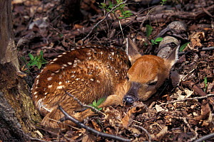 Whitetail deer fawn {Odocoileus virginianus} Wisconsin, USA - Thomas Lazar