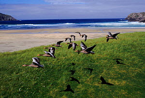 Greylag geese formation flying, Isle of Lewis, Hebrides Scotland  -  John Downer