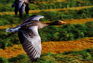 Greylag geese flying close-up, Isle of Lewis, Hebrides Scotland  -  John Downer