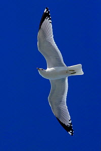 Ring-billed gull (Larus delawarensis) in flight. Florida Everglades, USA - George McCarthy