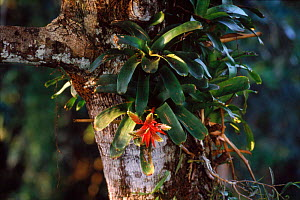 Epiphytic bromeliad (Bromeliaceae) in canopy. Yasuni NP, Amazon, Ecuador, South America  -  Pete Oxford