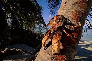 Coconut crab on palm tree, Aldabra, Seychelles.  -  Pete Oxford