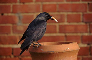 Jackdaws can start housefires by taking smouldering cigarette butts to their nest made in a house chimney. They were called fire-birds because they would carry embers. - John Downer