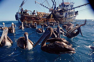 Brown pelicans and fishing trawler. San Lucas, Mexico. - John Downer