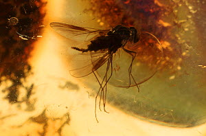 Fly trapped in 30 million year-old amber. Mexico. - John Downer
