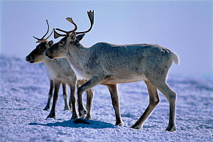 Caribou (Rangifer tarandus) in snow. Near Goose Bay, Labrador, Canada  -  Nigel Bean