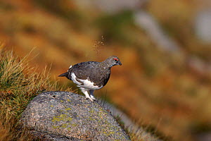 Rock ptarmigan (Lagopus mutus). Aviemore, Scotland, UK, Europe  -  Mike Wilkes