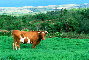 Domestic cow on Faial Island, Azores, Portugal, Europe. - Francois Savigny