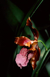 Orchid growing in cloud forest at Machu Picchu, Peru - Pete Oxford