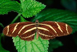 Zebra longwing butterfly {Heliconius charithonia}  -  Steven David Miller