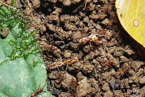 Army ants {Eciton burchelli} moving larvae, South America  -  Phil Savoie