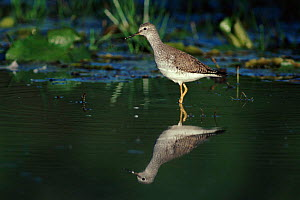 Lesser yellow legs in Buccoo Marsh. Tobago.  -  Nigel Bean