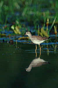 Lesser yellow legs in Buccoo Marsh, Tobago.  -  Nigel Bean