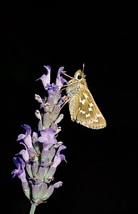 Silver spotted skipper butterfly on lavender flower,  Europe. - George McCarthy