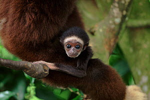 White-handed gibbon baby. Endangered species native to South East Asia.  -  Anup Shah