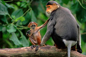Douc langur monkey with baby. Endangered species native to Vietnam.  -  Anup Shah