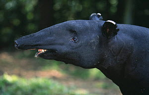 Malayan tapir (Tapirus indicus) portrait, captive, species occurring in South East Asia, endangered species - Anup Shah