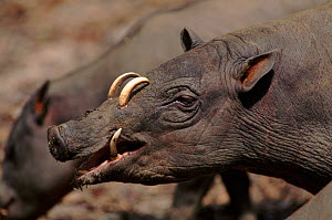 Babirusa - endangered species native to Indonesia  -  Anup Shah