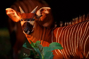Bongo antelope (Tragelaphus euryceros) a rare species occurring in West, Central and East Africa, captive  -  Anup Shah