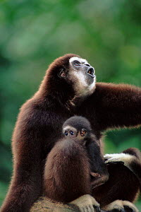 White-handed gibbon with young {Hylobates lar}  -  Anup Shah